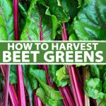 A vertical picture of a close up of beet greens with bright green leaves and purple stems. To the center and bottom of the frame is green and white text.