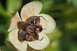 How to Collect Hellebore Seeds for Plant Propagation