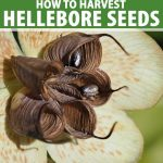 A close up vertical picture of a hellebore flower with light green sepals and dark brown central seed pods, already opened with the dark seeds visible on the inside. To the top and bottom of the frame is green and white text.