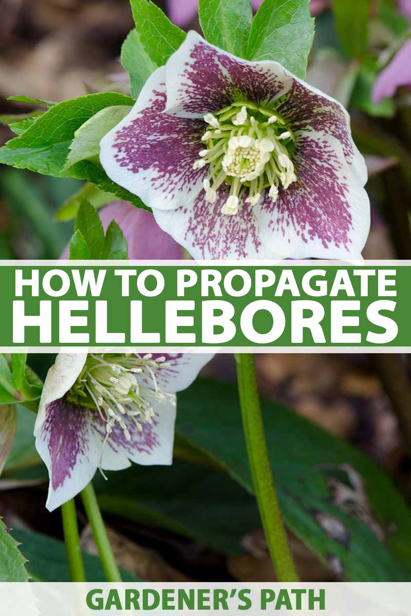 A vertical close up picture of two hellebore flowers with white petals flecked with purple and seeds just starting to develop in the center. Green foliage fades to soft focus in the background. To the center and bottom of the frame is green and white text.
