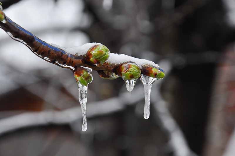 A close up of the tip of a Prunus armeniaca branch with tiny green buds covered in frost and ice, on a dark soft focus background.