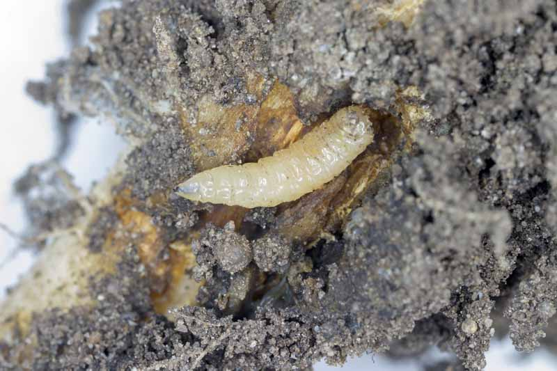 A close up of a cabbage maggot (Delia radicum) burrowing through the root of a cruciferous vegetable.