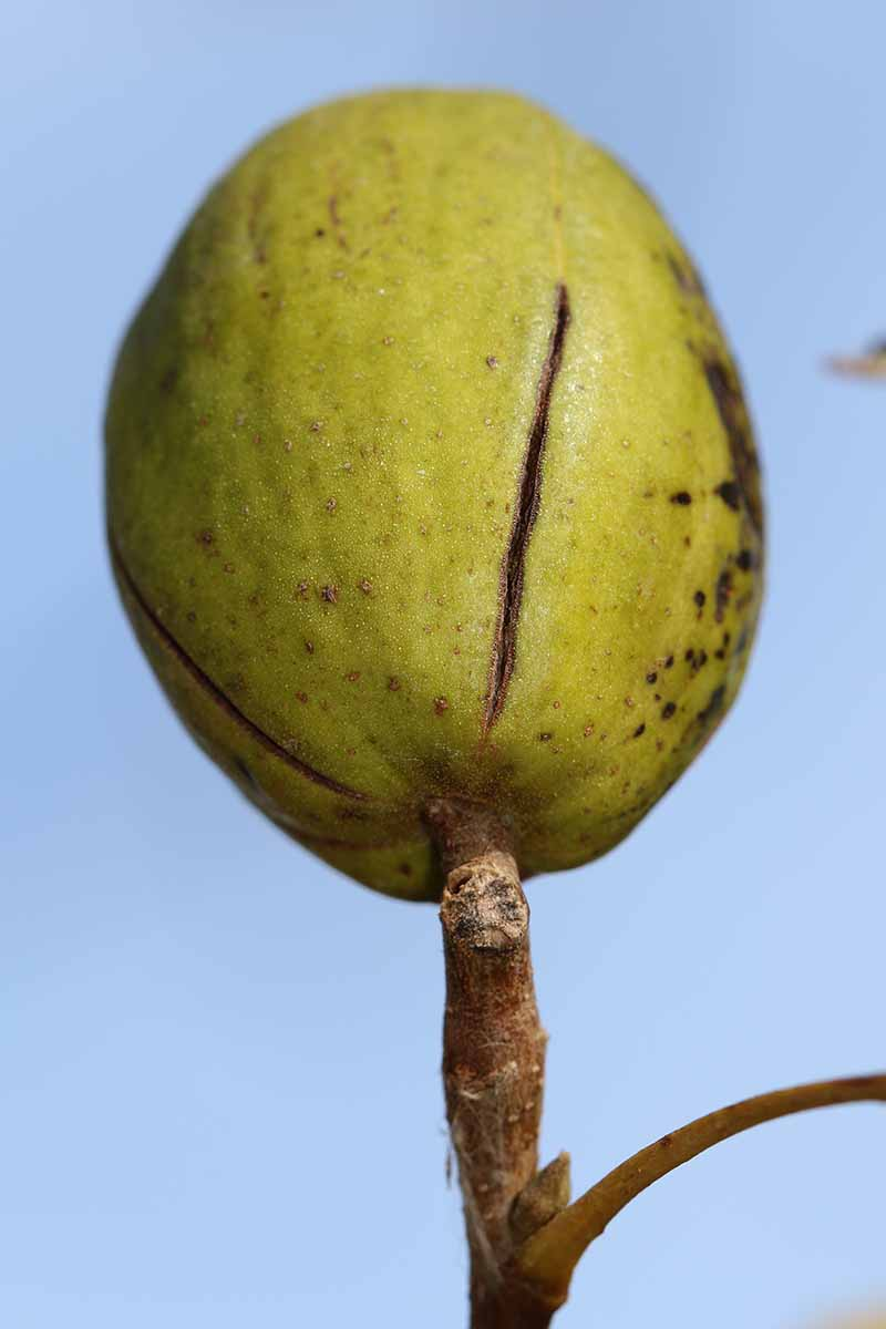 A close up vertical picture of an immature pecan nut, still green, growing on the branch of a tree with a blue soft focus background.