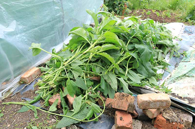 A large pile of freshly harvested comfrey leaves set on a tarp in the garden with bricks in the foreground and a plastic cover to the left of the frame.