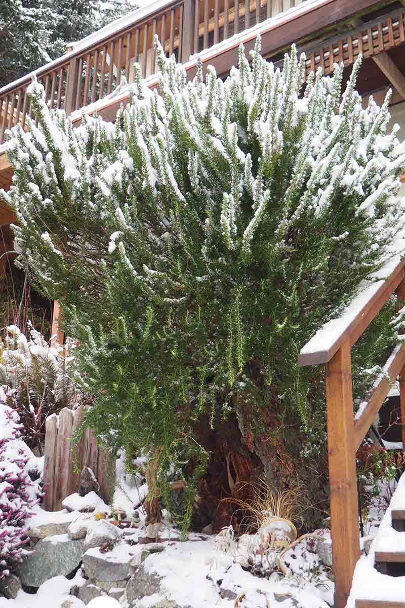 A vertical picture of a large rosemary bush growing outside a wooden house after a snowfall. The top of the plant is covered in a light dusting of snow.