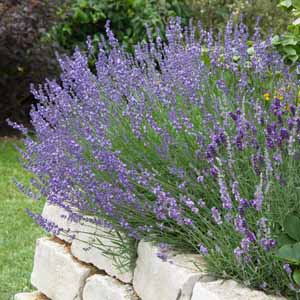 Lavender (Landula) growing along a rock retaining wall).