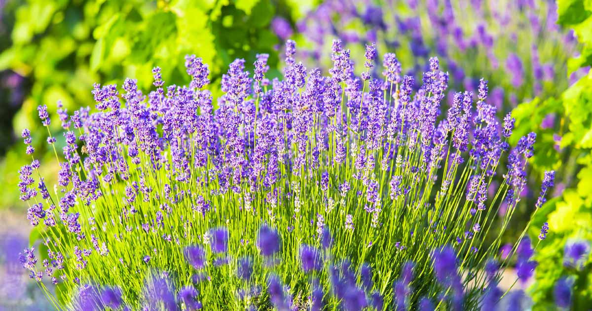 Lavender Lavandula Growing Guides Tips Info Gardener S Path