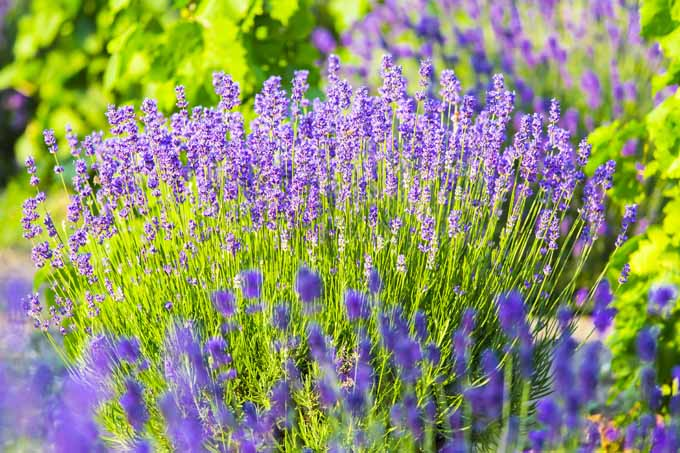 A clump of lavender growing in a landscaped garden.