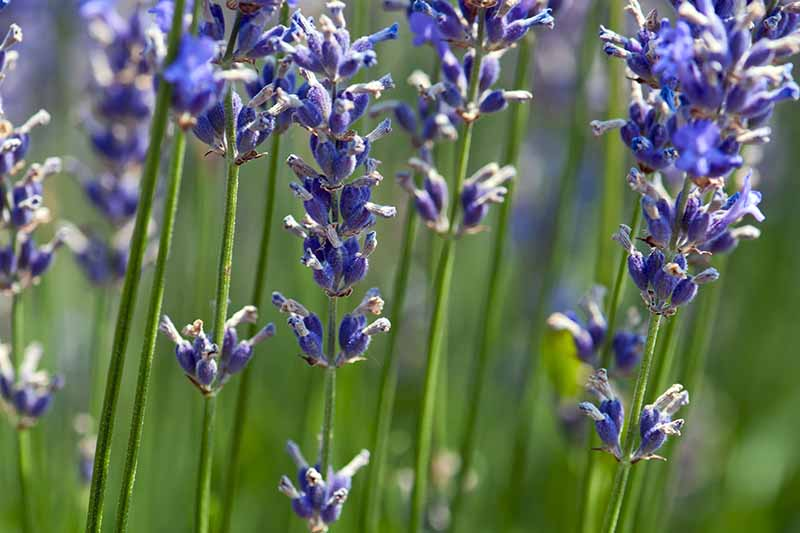 A close up of bright blue lavender flowers on long thin green stalks on a soft focus background.