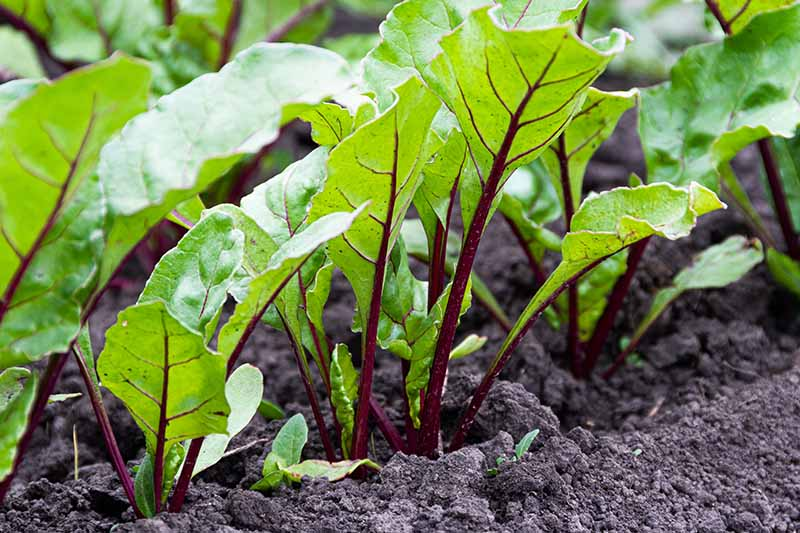 A row of beet plants growing in dark, rich soil in the garden. The foliage is light green with purple stems and veins.