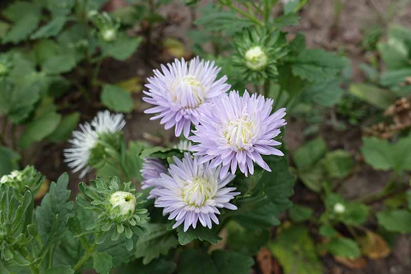 A close up of the light purple flowers with thin, delicate petals of a China aster. In the background is green foliage fading to soft focus.