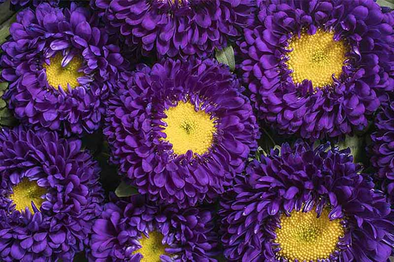 A close up of deep purple China aster flowers with bright yellow centers, in light sunshine.