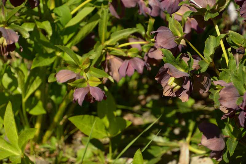 A close up of hellebore flowers with dark purple sepals and mature seed pods in the center, ready for harvest. Pictured in bright sunshine on a soft focus background.