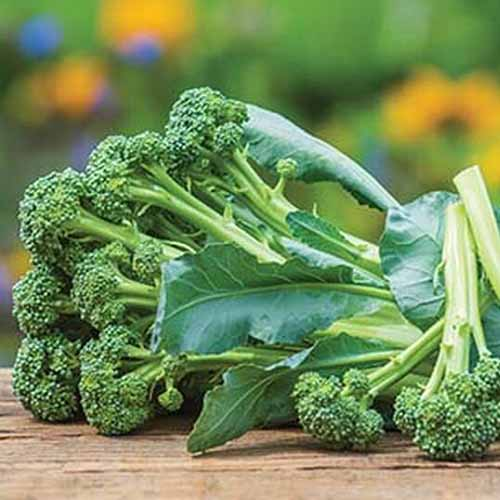 A close up of a harvested bunch of 'Montebello' broccolini on a wooden surface and a soft focus background.