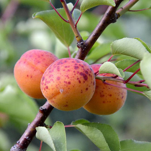 A close up of the 'Moorpark' variety of apricot tree, with three orange fruits with dark red speckles on the branch surrounded by foliage on a soft focus background.