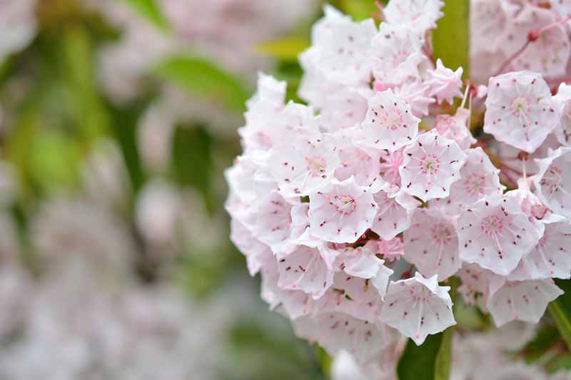 A close up of the pink and white flowers of the Kalmia latifolia bush on a soft focus background.