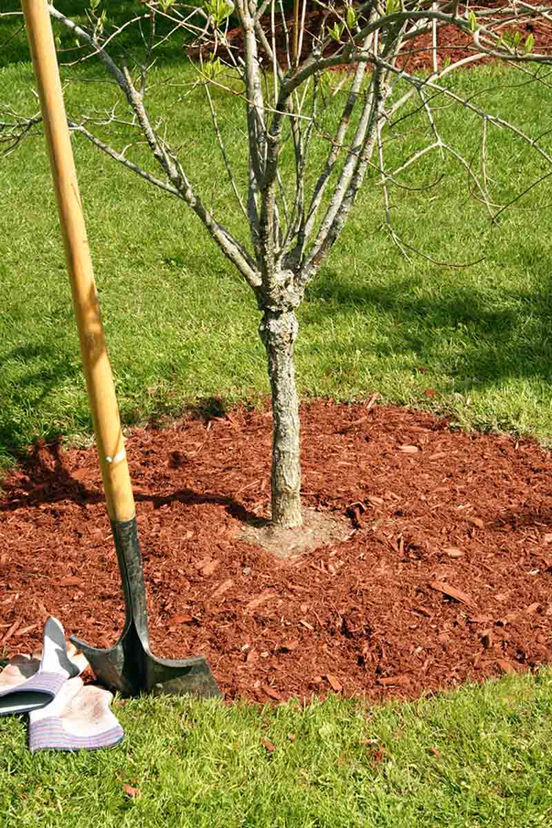 A vertical picture showing a small Prunus armeniaca tree planted in a lawn, surrounded with mulch. To the left of the frame is a large garden spade and some gloves set on the ground.