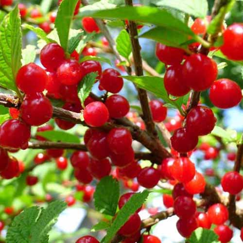 A close up of bright red ripe fruit of the 'Nanking' cherry variety, surrounded by foliage on a soft focus background.