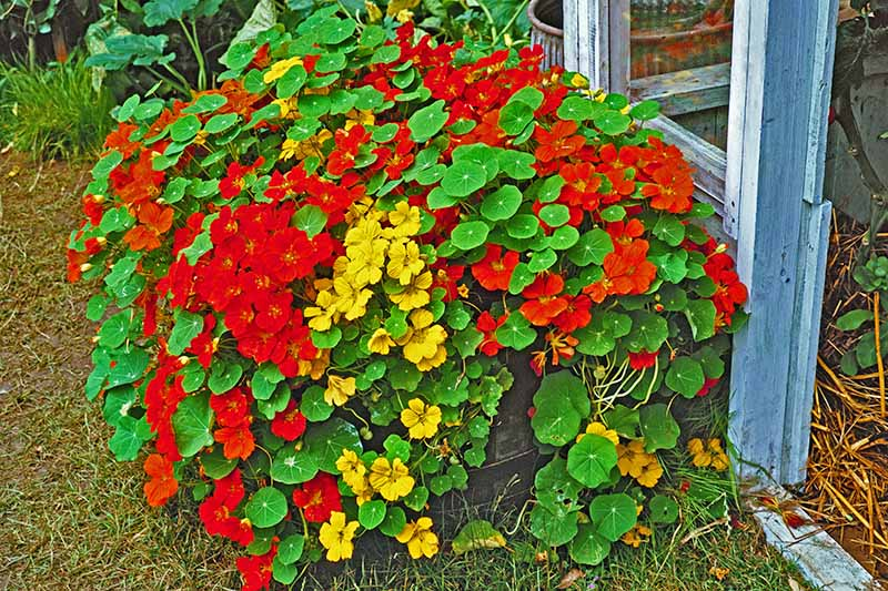 A Tropaeolum majus plant growing outdoors in a wooden pot, the yellow and orange flowers trailing over the side and contrasting with the flat green leaves. In the background is grass and a light blue wooden shed.