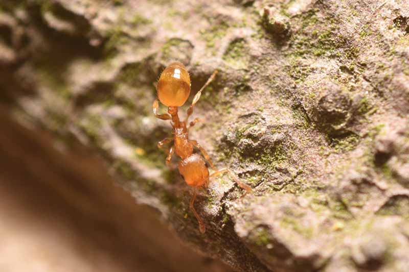 A close up of a Sonelopsis molesta with a light brown body on a rocky surface with a soft focus background.
