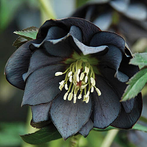A close up of a dark purple, almost black 'Onyx Odyssey' flower of the Helleborus genus on a soft focus background.