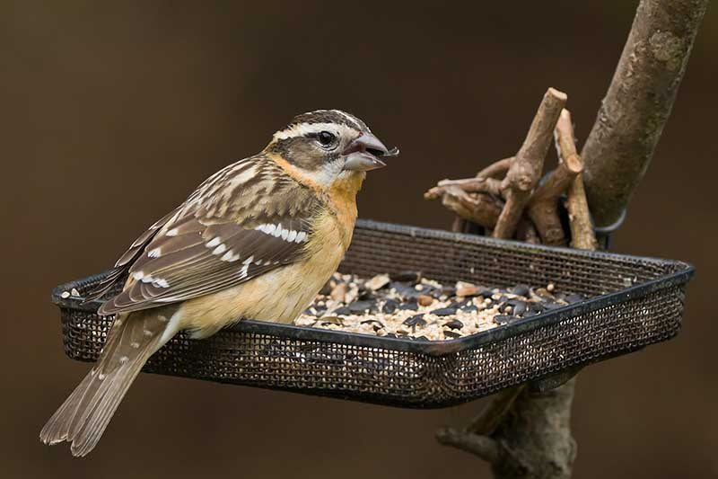 A close up of a bird eating seeds from a black metal open tray feeder attached to the branch of a tree on a soft focus brown background.