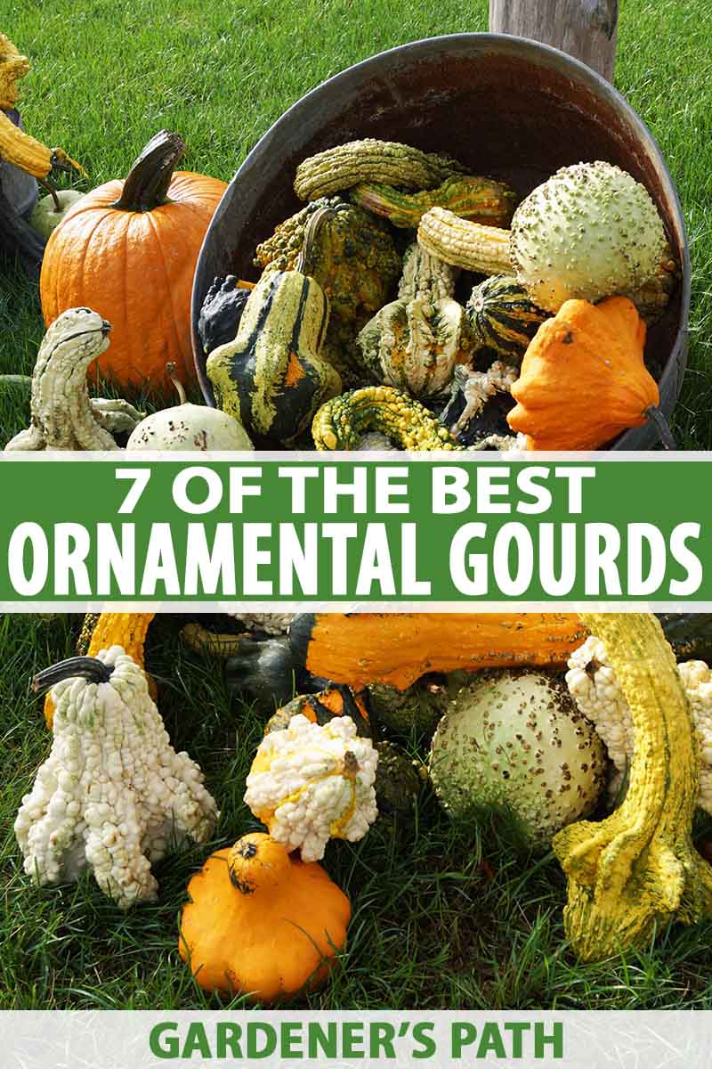 A vertical picture of a metal bucket on its side with a variety of different ornamental gourds cascading out of it. The fruits are all different colors, shapes, and textures. In the background is a lawn and a wooden upright post. To the center and bottom of the frame is green and white text.