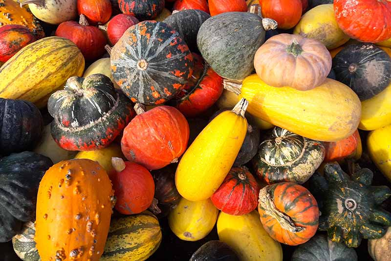A close up picture of a large variety of different ornamental gourds and edible squash in different colors, textures, shapes, and sizes in bright sunlight.
