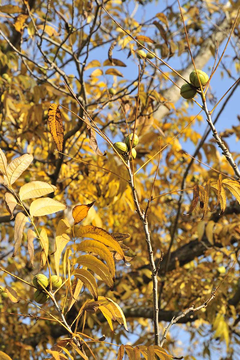 A vertical picture of a pecan tree in the fall with nuts developing and leaves turning yellow, on a blue sky background.