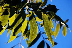 How to Identify and Treat Pecan Twig Dieback Disease