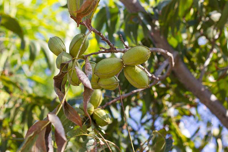 A close up of developing nuts on a pecan tree in filtered sunshine surrounded by foliage on a soft focus background.