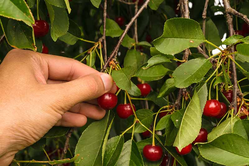 A hand from the left of the frame harvesting ripe cherries hanging from the tree. The bright red fruit contrasting with the green foliage fading to soft focus in the background.