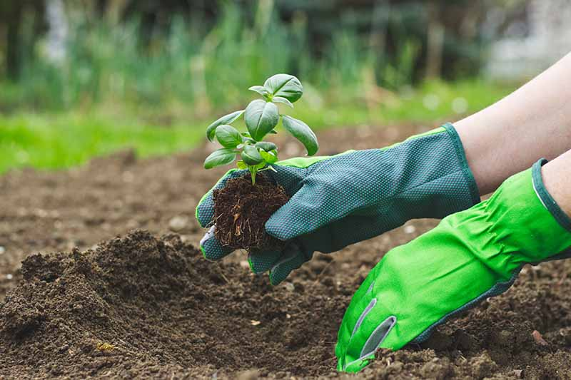 A close up of two hands from the right of the frame wearing green gardening gloves planting a small basil seedling into dark, rich soil. The background is a garden scene in soft focus.