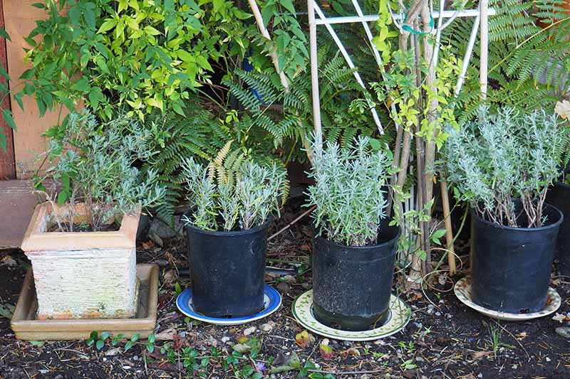 One terra cotta pot and three small black plastic pots containing lavender cuttings pictured in front of a wall with various plants growing behind them in light sunshine.