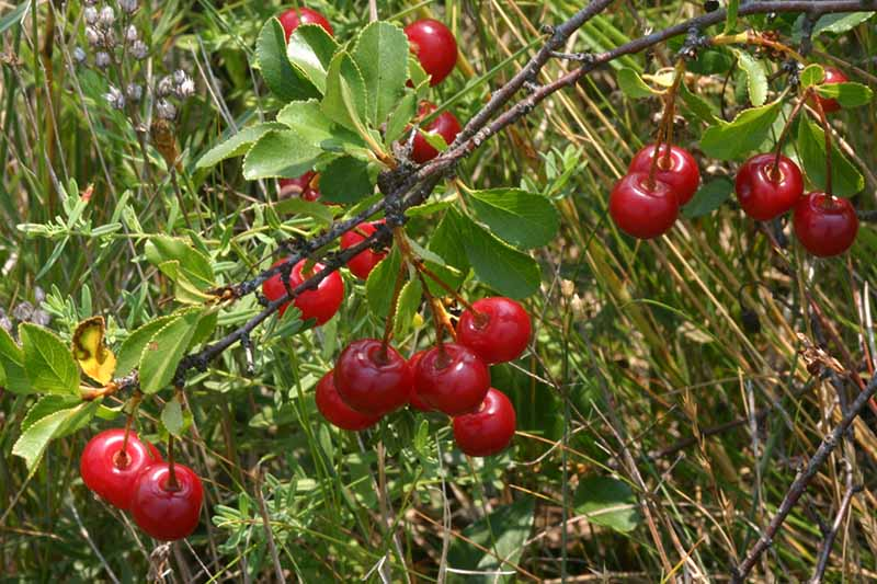 A close up of Prunus fruticosa fruit hanging from the branch, the bright red cherries contrasting with the green foliage. The background is long grass in soft focus.