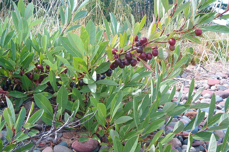 A close up of a branch of Prunus pumila with dark red ripe fruits contrasting with the green foliage. In the background is grass and a stony surface.
