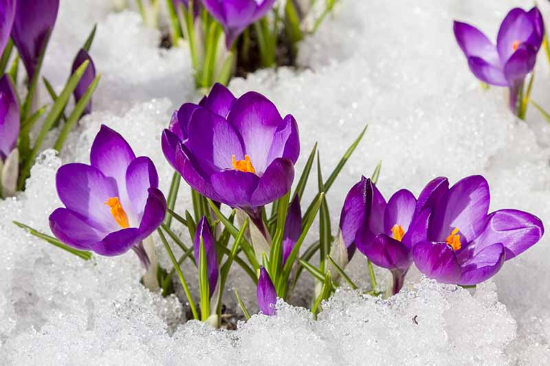 A close up of purple crocus flowers growing in clumps through the snow with orange centers and green foliage.