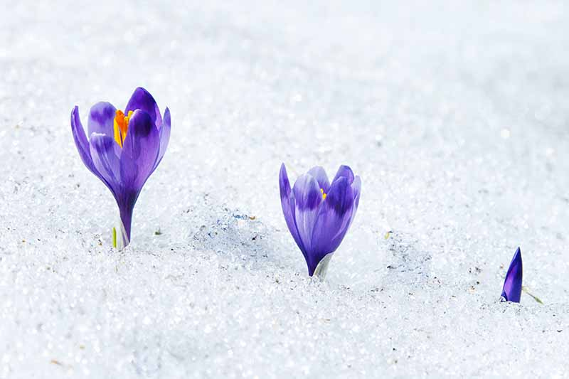 A close up of three small crocus flowers pushing up through the snow covered ground in light sunshine.