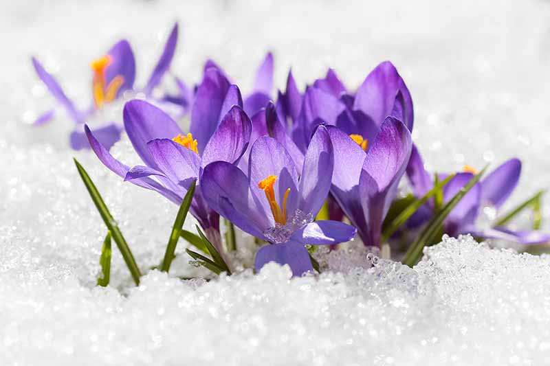 A close up of purple crocus flowers pushing through the snow in light sunshine fading to soft focus in the background.