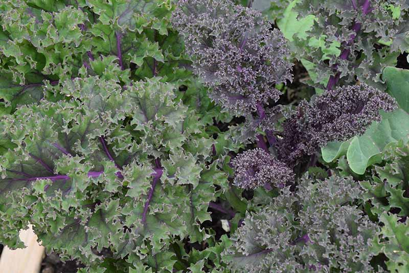 A close up of purple curly kale leaves with frilly edges and dark purple stems.