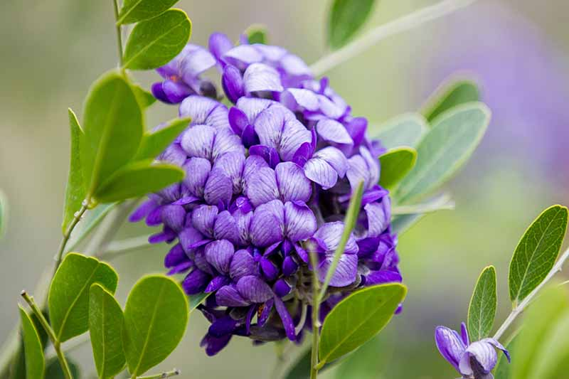 A close up of a purple flower of the Texas mountain laurel shrub with green foliage surrounding it on a soft focus green background.