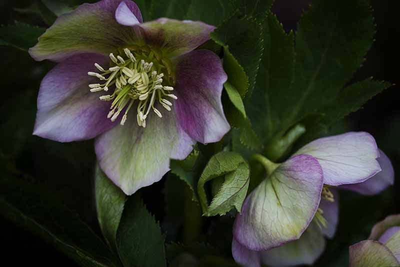 A close up of a flower from the Helleborus genus in light green and purple on a dark soft focus background.