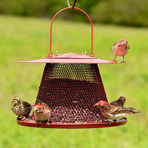 A close up of a hanging red metal feeder for red cardinal birds, on a green soft focus background.