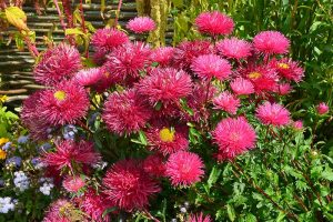 How to Grow China Aster for Color in the Late Summer Garden
