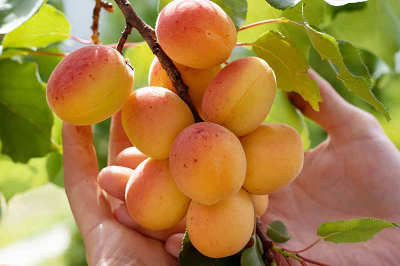 Two hands holding a bunch of ripe apricots on the branch, surrounded by green foliage in light sunshine.