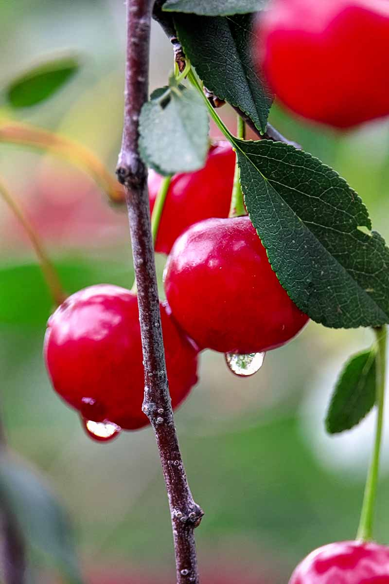 A vertical close up picture of a few ripe red cherries hanging from the branch of a tree, the vibrant color of the fruit contrasting with the dark green foliage. Droplets of water drip from the fruits which are pictured on a soft focus green background.