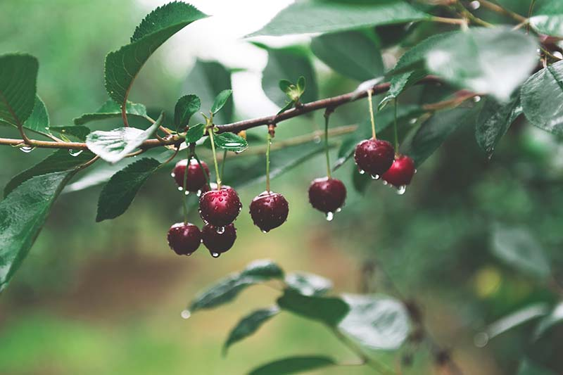 A close up of red ripe cherries hanging from a branch of the tree, with droplets of water covering them surrounded by green foliage on a soft focus background.