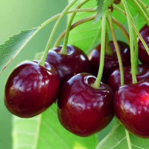 A close up of deep red fruit from the 'Romeo' cherry tree, with bright green foliage in soft focus in the background.