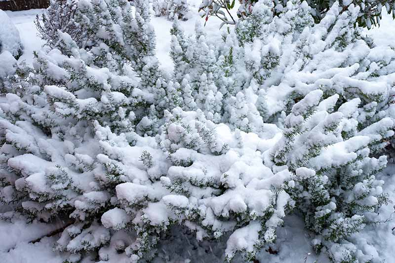 A large Salvia rosmarinus bush growing in the garden covered in snow, with just the ends of the branches and leaves visible, fading to soft focus in the background.
