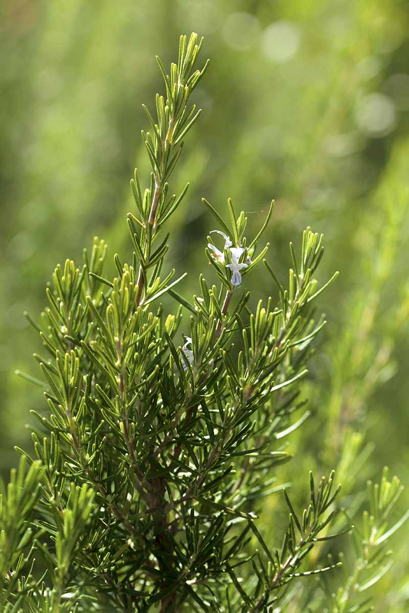A close up vertical picture of a rosemary plant growing in the garden with one small flower, the background is soft focus.